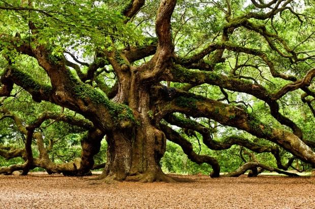 oak-tree2