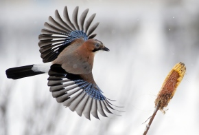 A jay flies to a corncob in the forest on the outskirts of Novogrudok, 150 km (93 miles) west of the capital Minsk, Belarus, Sunday, Jan. 17, 2016. (AP Photo/Sergei Grits)